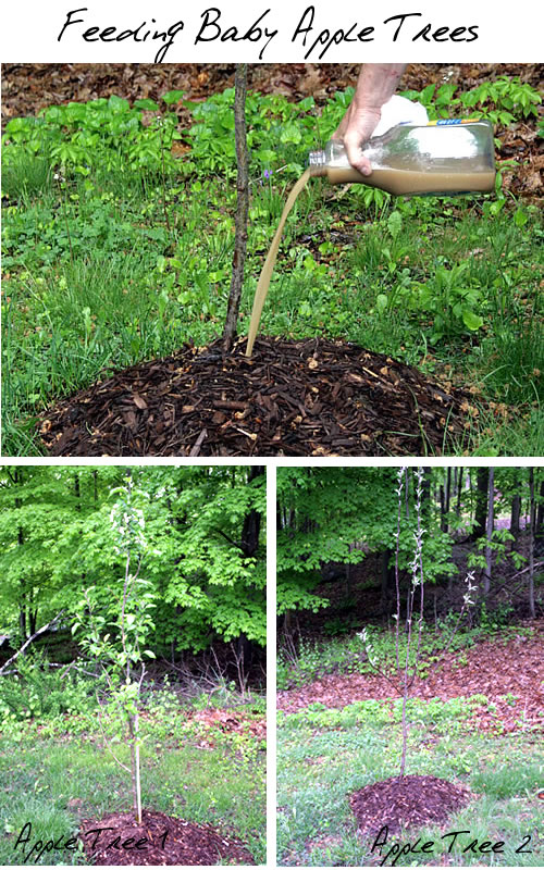 fertilizing apple trees organic