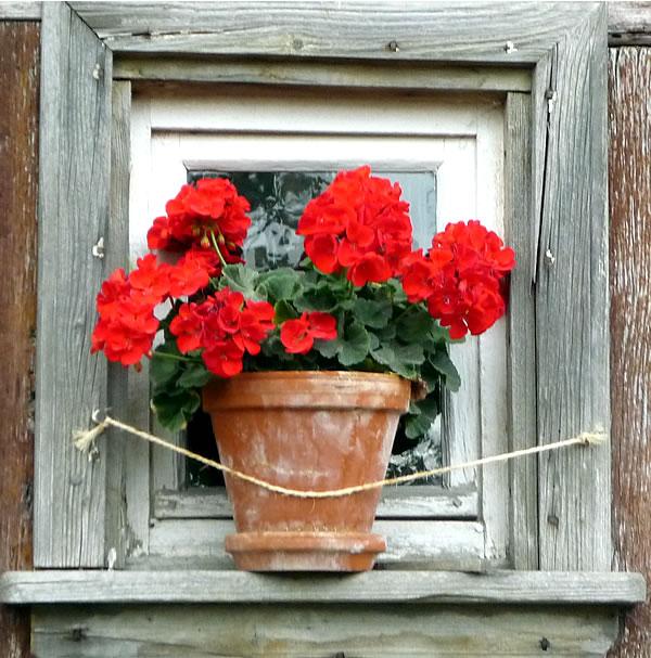 geranium in rustic frame