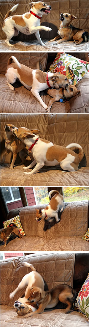 dogs at play on surefit sofa cover